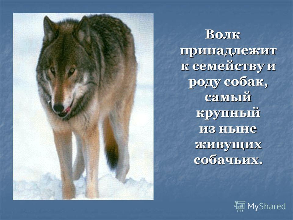 Волк принадлежит к семейству и роду собак, самый крупный из ныне живущих собачьих.