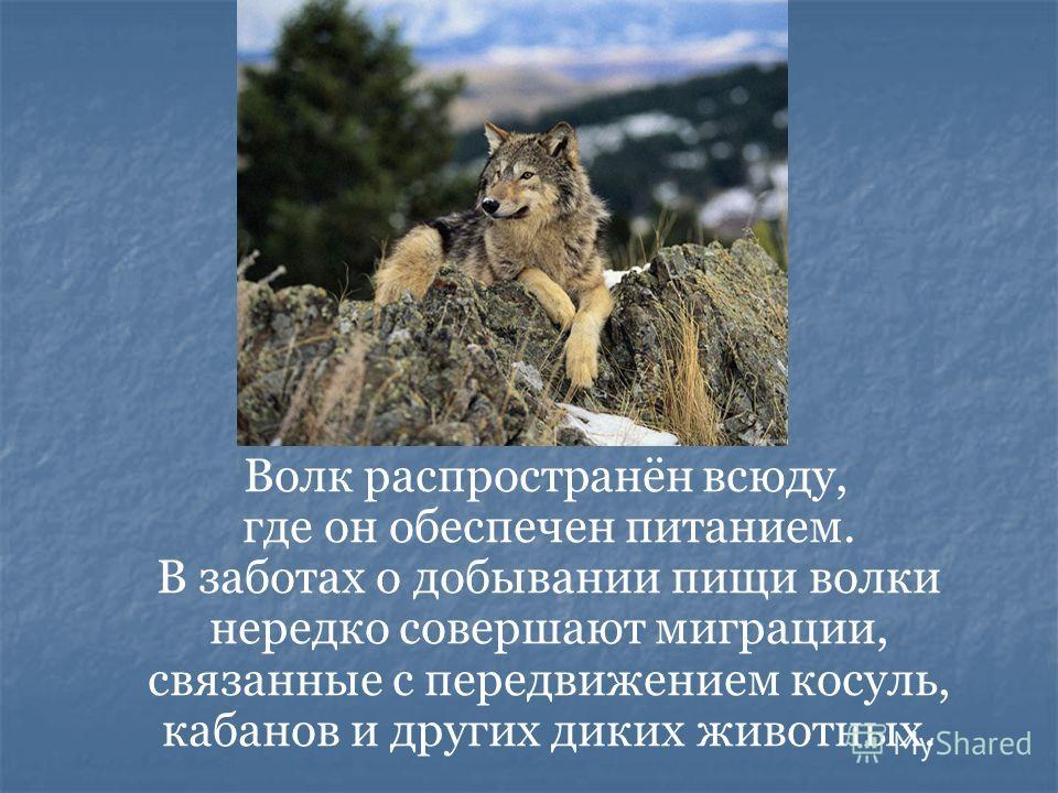 Волк распространён всюду, где он обеспечен питанием. В заботах о добывании пищи волки нередко совершают миграции, связанные с передвижением косуль, кабанов и других диких животных.