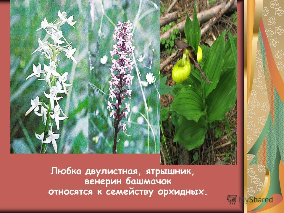 Любка двулистная, ятрышник, венерин башмачок относятся к семейству орхидных.