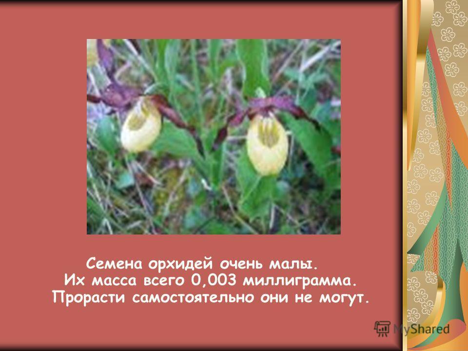 Семена орхидей очень малы. Их масса всего 0,003 миллиграмма. Прорасти самостоятельно они не могут.