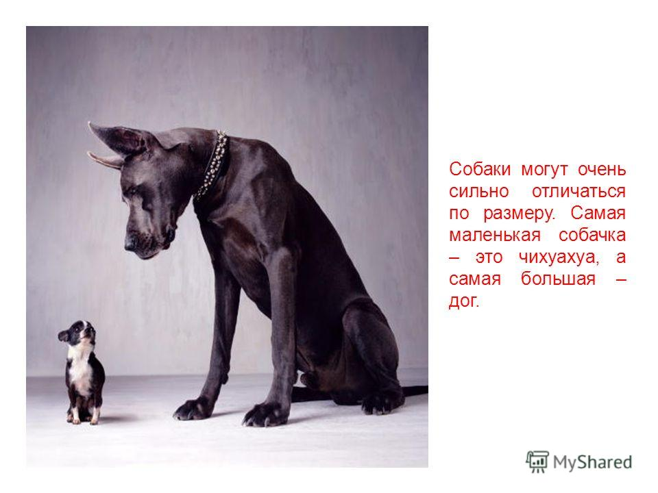 Действительно, собака – друг и помощник человека. Люди приручили собак 10 000 лет назад – очень давно! Собаки произошли от волков, они относятся к общему семейству волчьих.