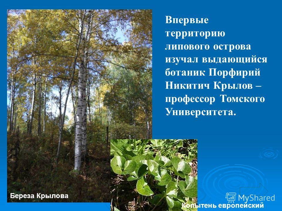 Впервые территорию липового острова изучал выдающийся ботаник Порфирий Никитич Крылов – профессор Томского Университета. Береза Крылова Копытень европейский
