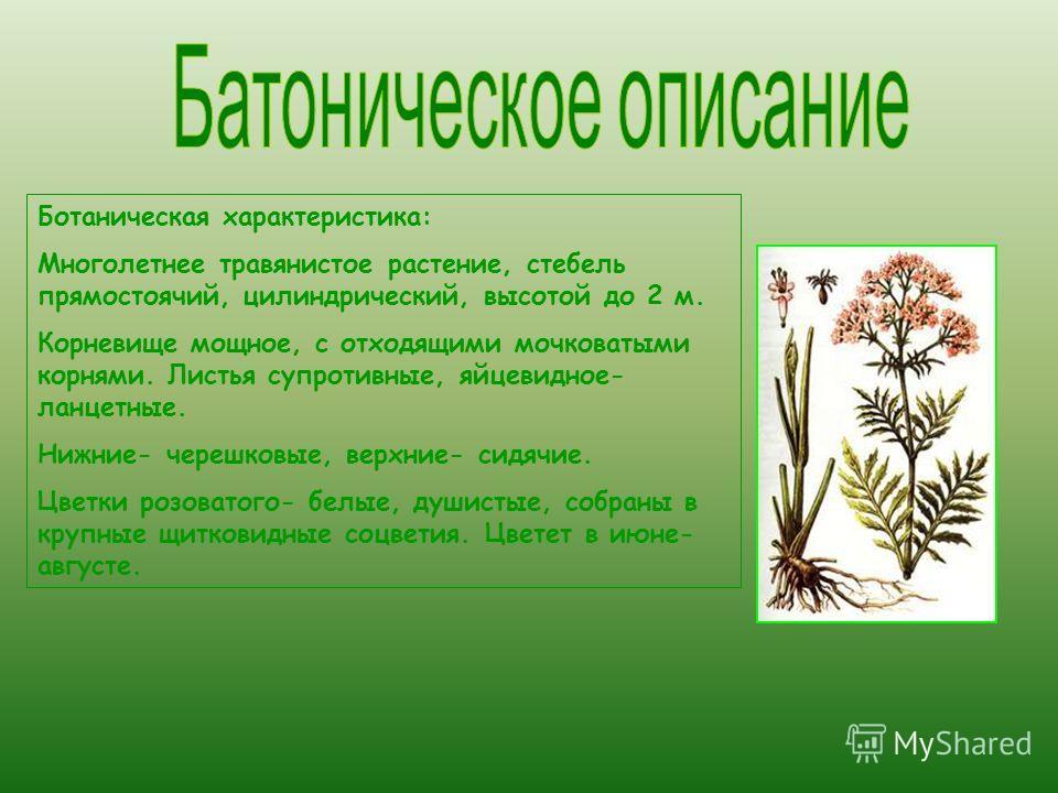 Ботаническая характеристика: Многолетнее травянистое растение, стебель прямостоячий, цилиндрический, высотой до 2 м. Корневище мощное, с отходящими мочковатыми корнями. Листья супротивные, яйцевидное- ланцетные. Нижние- черешковые, верхние- сидячие.