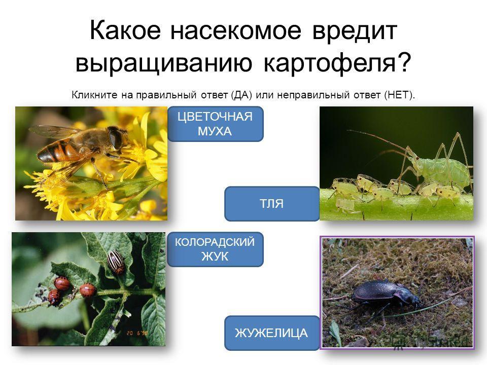 Какое насекомое вредит выращиванию картофеля? Кликните на правильный ответ (ДА) или неправильный ответ (НЕТ). КОЛОРАДСКИЙ ЖУК ТЛЯ ЦВЕТОЧНАЯ МУХА ЖУЖЕЛИЦА