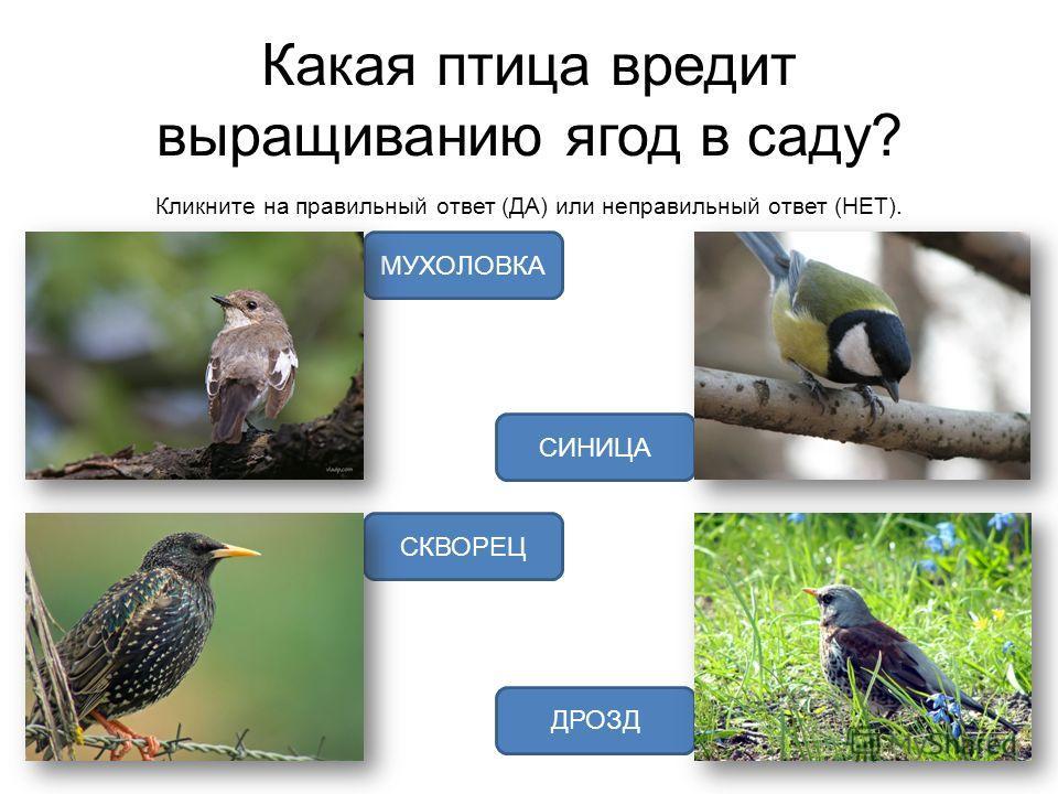 Какая птица вредит выращиванию ягод в саду? Кликните на правильный ответ (ДА) или неправильный ответ (НЕТ). ДРОЗД СКВОРЕЦ СИНИЦА МУХОЛОВКА