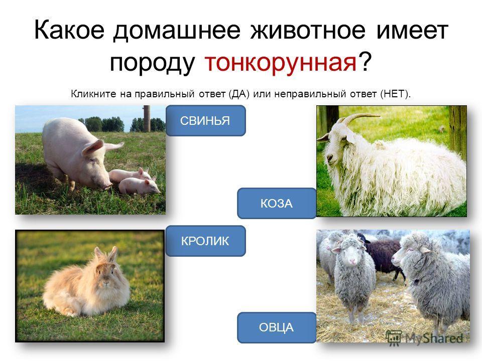 Какое домашнее животное имеет породу тонкорунная? Кликните на правильный ответ (ДА) или неправильный ответ (НЕТ). ОВЦА КРОЛИК СВИНЬЯ КОЗА