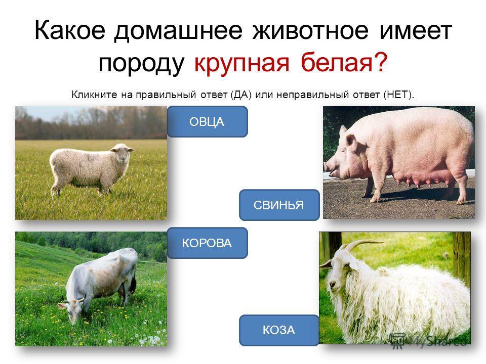 Какое домашнее животное имеет породу крупная белая? Кликните на правильный ответ (ДА) или неправильный ответ (НЕТ). СВИНЬЯ ОВЦА КОРОВА КОЗА