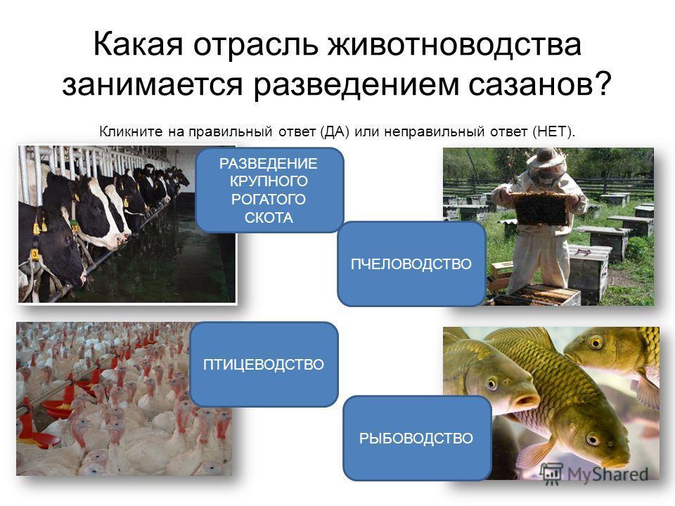 Какая отрасль животноводства занимается разведением сазанов? Кликните на правильный ответ (ДА) или неправильный ответ (НЕТ). РАЗВЕДЕНИЕ КРУПНОГО РОГАТОГО СКОТА ПЧЕЛОВОДСТВО РЫБОВОДСТВО ПТИЦЕВОДСТВО