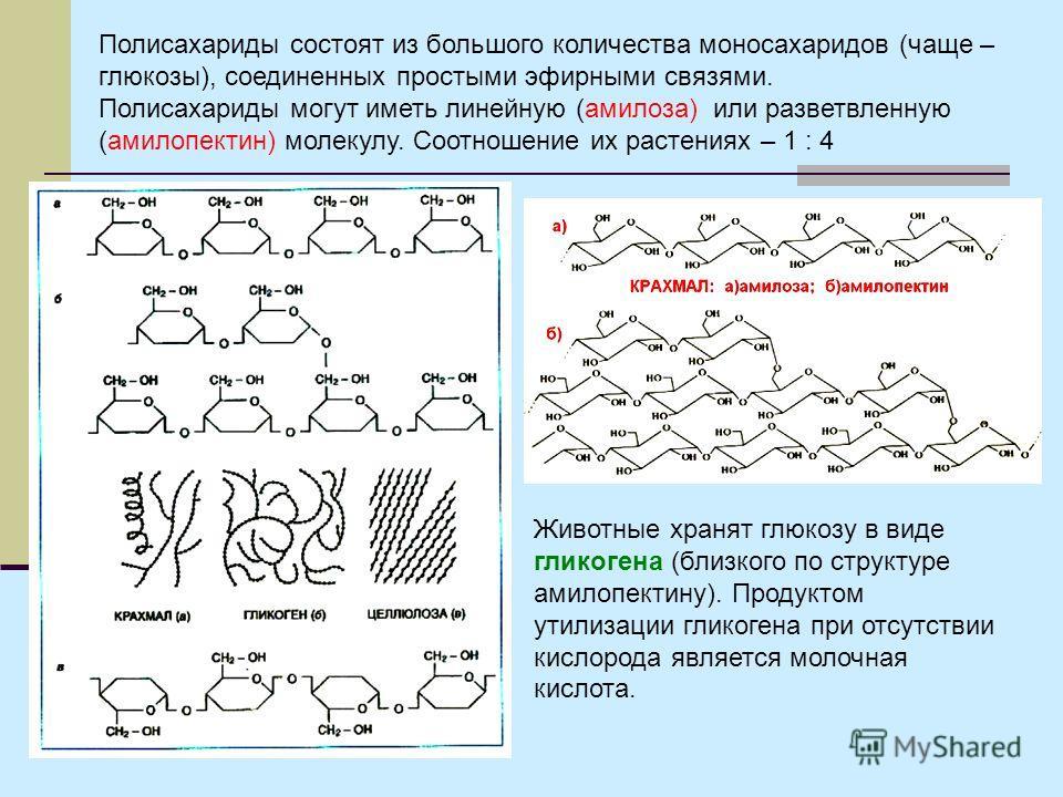 Полисахариды состоят из большого количества моносахаридов (чаще – глюкозы), соединенных простыми эфирными связями. Полисахариды могут иметь линейную (амилоза) или разветвленную (амилопектин) молекулу. Соотношение их растениях – 1 : 4 Животные хранят