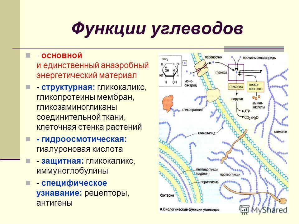 Функции углеводов - основной и единственный анаэробный энергетический материал - структурная: гликокаликс, гликопротеины мембран, гликозаминогликаны соединительной ткани, клеточная стенка растений - гидроосмотическая: гиалуроновая кислота - защитная: