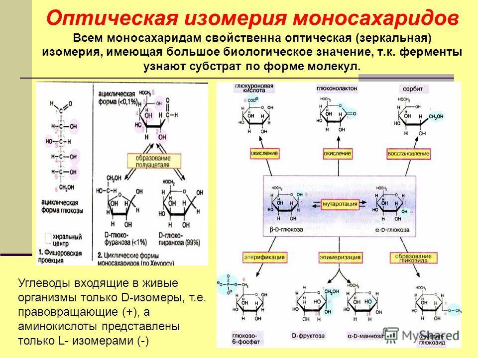 Оптическая изомерия моносахаридов Всем моносахаридам свойственна оптическая (зеркальная) изомерия, имеющая большое биологическое значение, т.к. ферменты узнают субстрат по форме молекул. Углеводы входящие в живые организмы только D-изомеры, т.е. прав