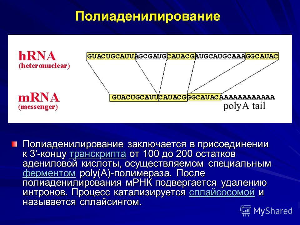 Полиаденилирование заключается в присоединении к 3'-концу транскрипта от 100 до 200 остатков адениловой кислоты, осуществляемом специальным ферментом poly(A)-полимераза. После полиаденилирования мРНК подвергается удалению интронов. Процесс катализиру