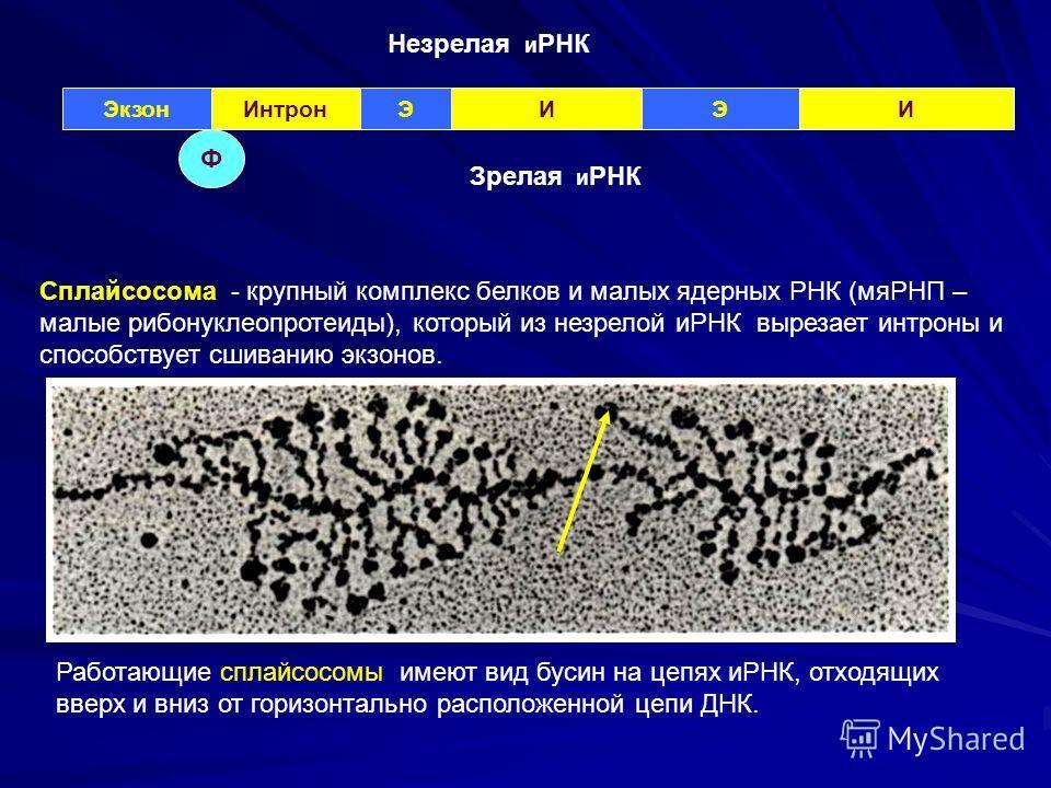 ЭкзонИнтронЭИЭИ Незрелая и РНК Ф Зрелая и РНК Сплайсосома - крупный комплекс белков и малых ядерных РНК (мяРНП – малые рибонуклеопротеиды), который из незрелой иРНК вырезает интроны и способствует сшиванию экзонов. Работающие сплайсосомы имеют вид бу
