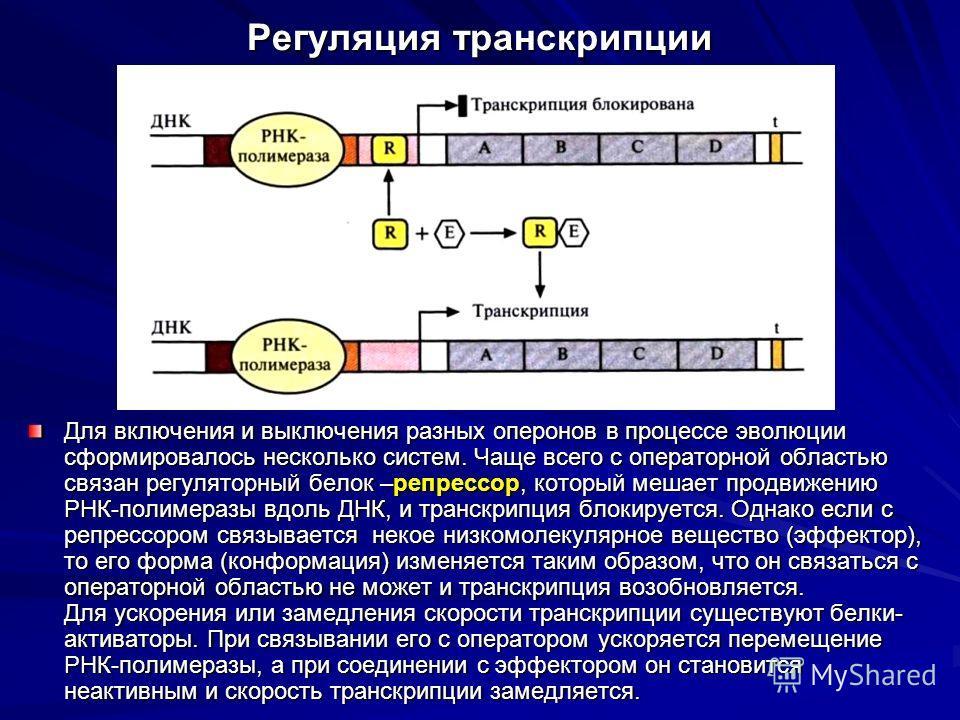 Регуляция транскрипции Для включения и выключения разных оперонов в процессе эволюции сформировалось несколько систем. Чаще всего с операторной областью связан регуляторный белок –репрессор, который мешает продвижению РНК-полимеразы вдоль ДНК, и тран