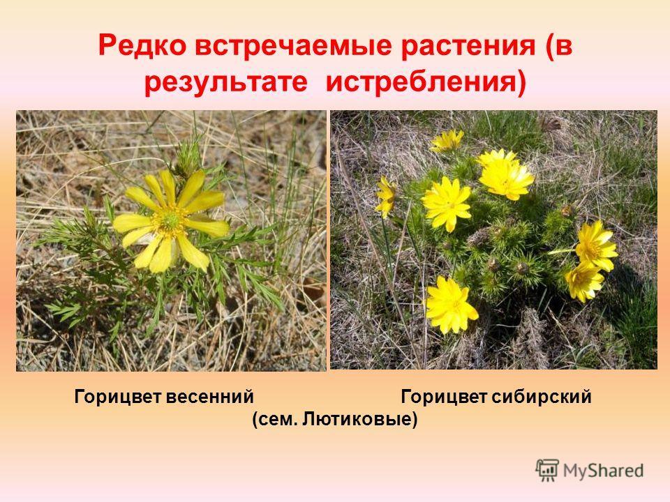 Редко встречаемые растения (в результате истребления) Горицвет весенний Горицвет сибирский (сем. Лютиковые)
