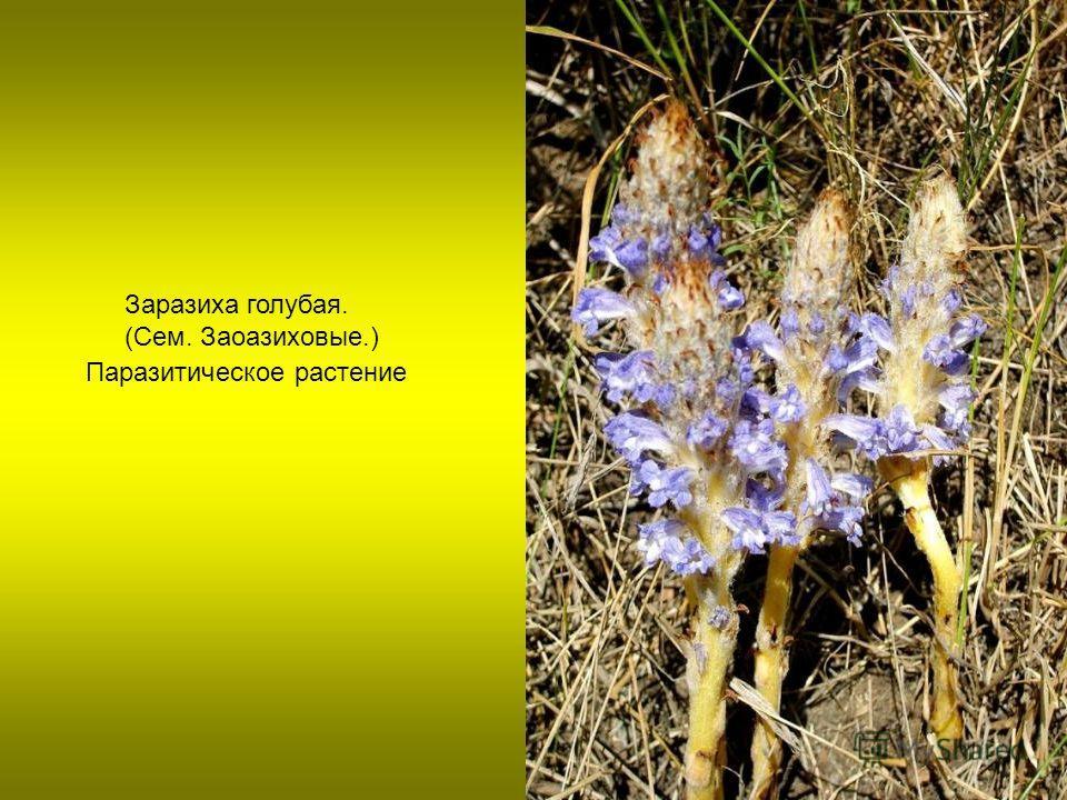 Паразитическое растение Заразиха голубая. (Сем. Заоазиховые.)