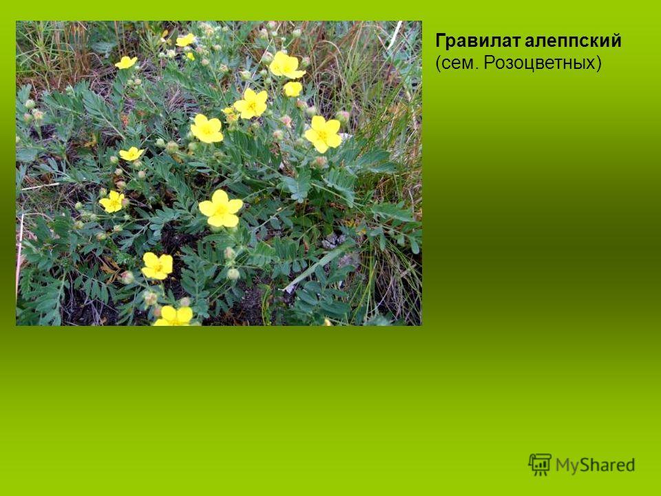 Гравилат алеппский (сем. Розоцветных)