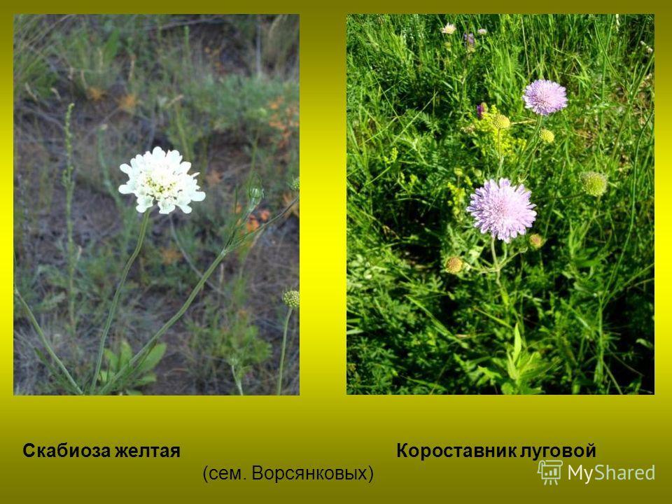 Скабиоза желтая Короставник луговой (сем. Ворсянковых)