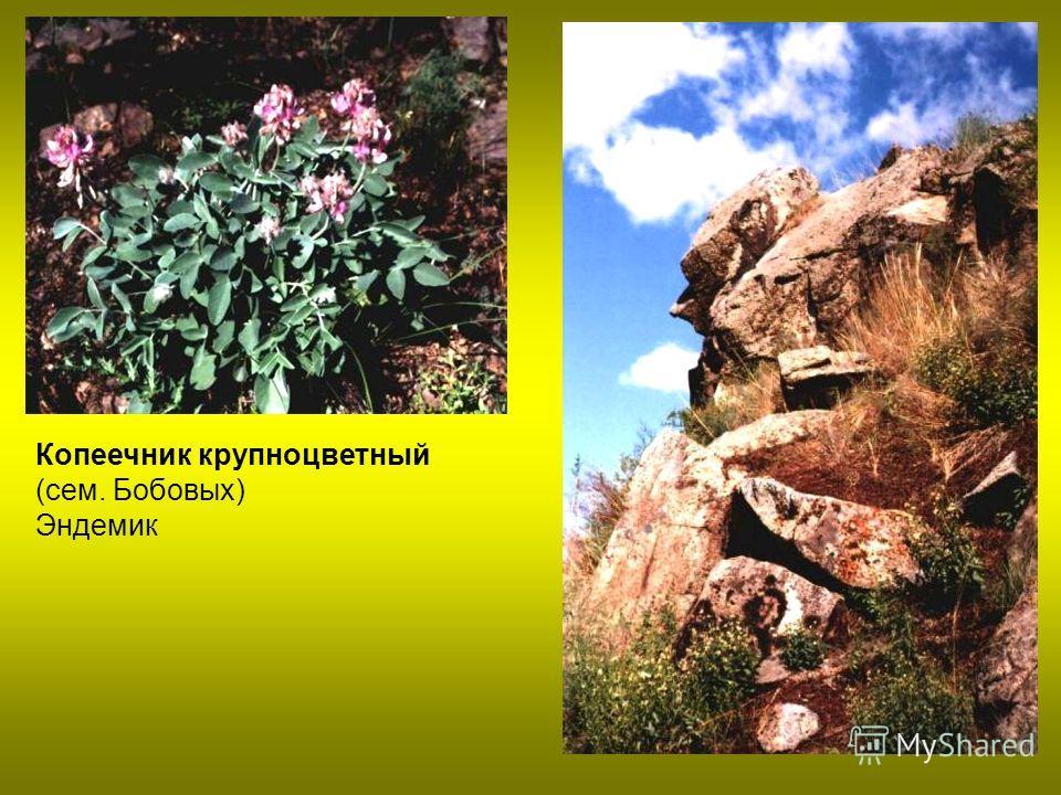 Копеечник крупноцветный (сем. Бобовых) Эндемик