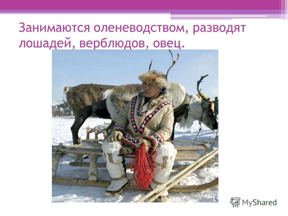 Занимаются оленеводством, разводят лошадей, верблюдов, овец.
