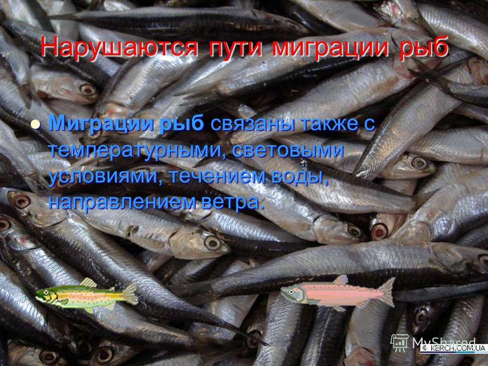 Нарушаются пути миграции рыб Миграции рыб связаны также с температурными, световыми условиями, течением воды, направлением ветра. Миграции рыб связаны также с температурными, световыми условиями, течением воды, направлением ветра.