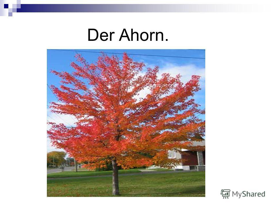 Der Ahorn.