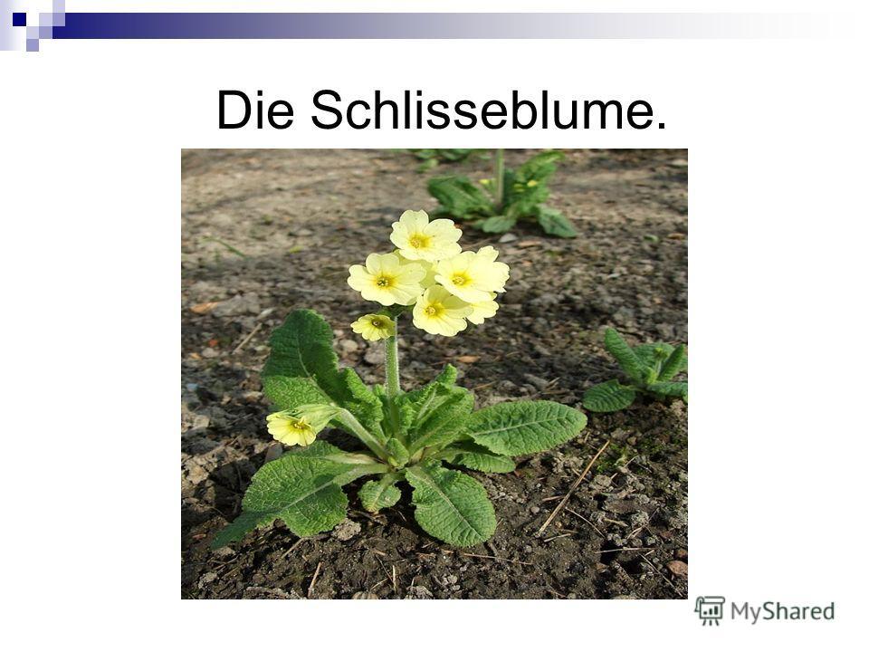 Die Schlisseblume.