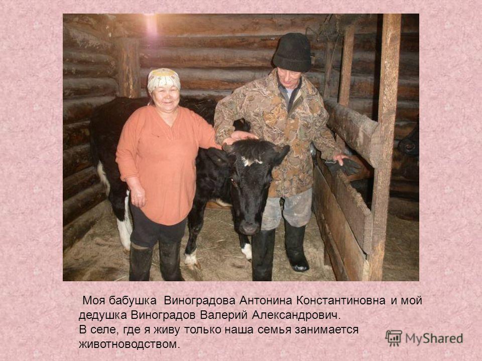 Моя бабушка Виноградова Антонина Константиновна и мой дедушка Виноградов Валерий Александрович. В селе, где я живу только наша семья занимается животноводством.