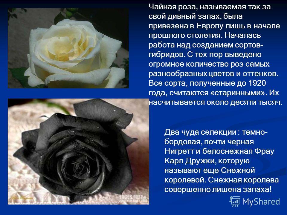 Чайная роза, называемая так за свой дивный запах, была привезена в Европу лишь в начале прошлого столетия. Началась работа над созданием сортов- гибридов. С тех пор выведено огромное количество роз самых разнообразных цветов и оттенков. Все сорта, по