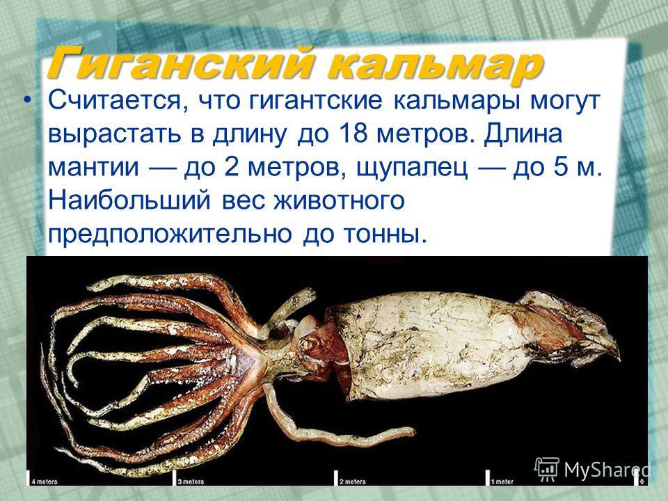 Гиганский кальмар Считается, что гигантские кальмары могут вырастать в длину до 18 метров. Длина мантии до 2 метров, щупалец до 5 м. Наибольший вес животного предположительно до тонны.