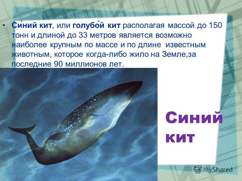 Синий кит Си́ний кит, или голубо́й кит располагая массой до 150 тонн и длиной до 33 метров является возможно наиболее крупным по массе и по длине известным животным, которое когда-либо жило на Земле,за последние 90 миллионов лет.