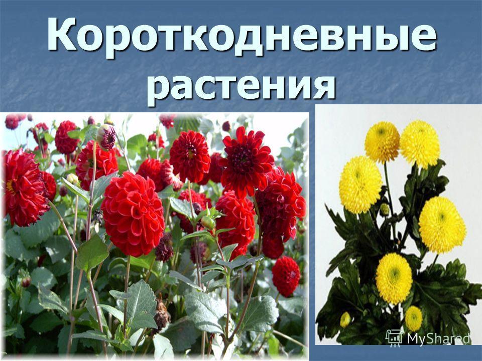 Короткодневные растения