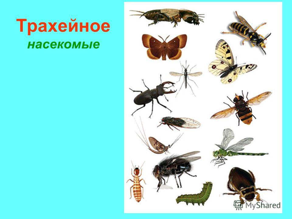 Трахейное насекомые