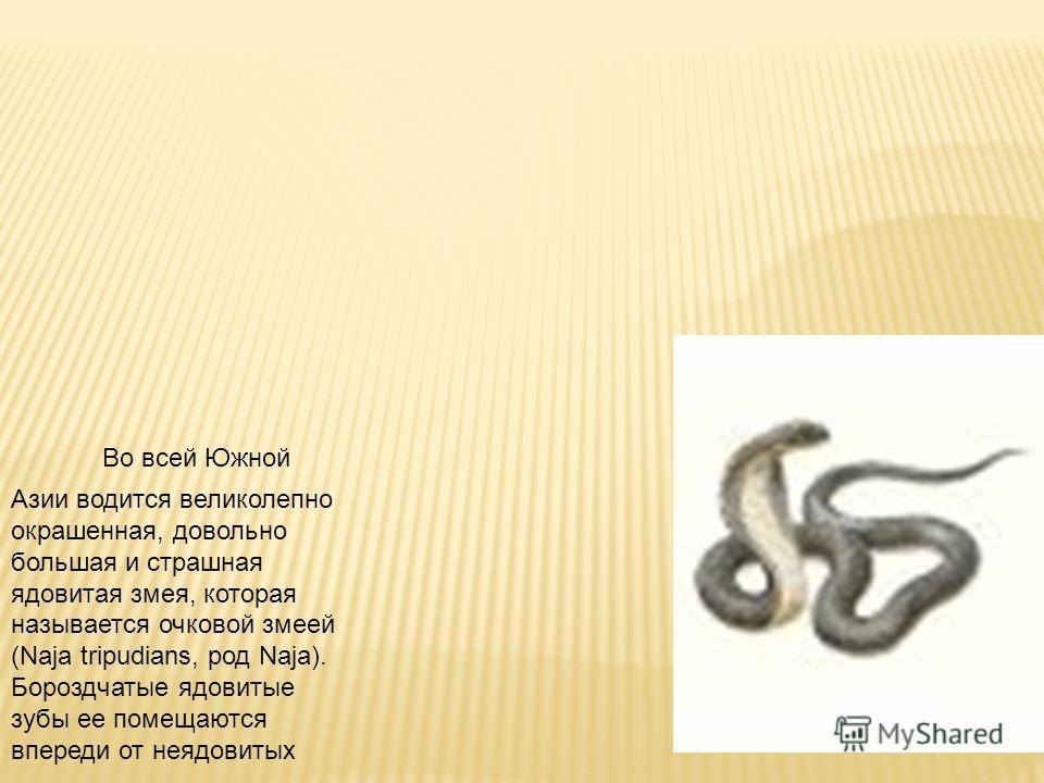 Во всей Южной Азии водится великолепно окрашенная, довольно большая и страшная ядовитая змея, которая называется очковой змеей (Naja tripudians, род Naja). Бороздчатые ядовитые зубы ее помещаются впереди от неядовитых