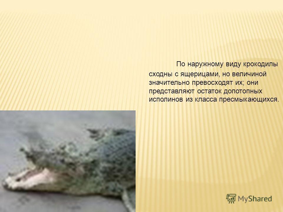 По наружному виду крокодилы сходны с ящерицами, но величиной значительно превосходят их; они представляют остаток допотопных исполинов из класса пресмыкающихся.
