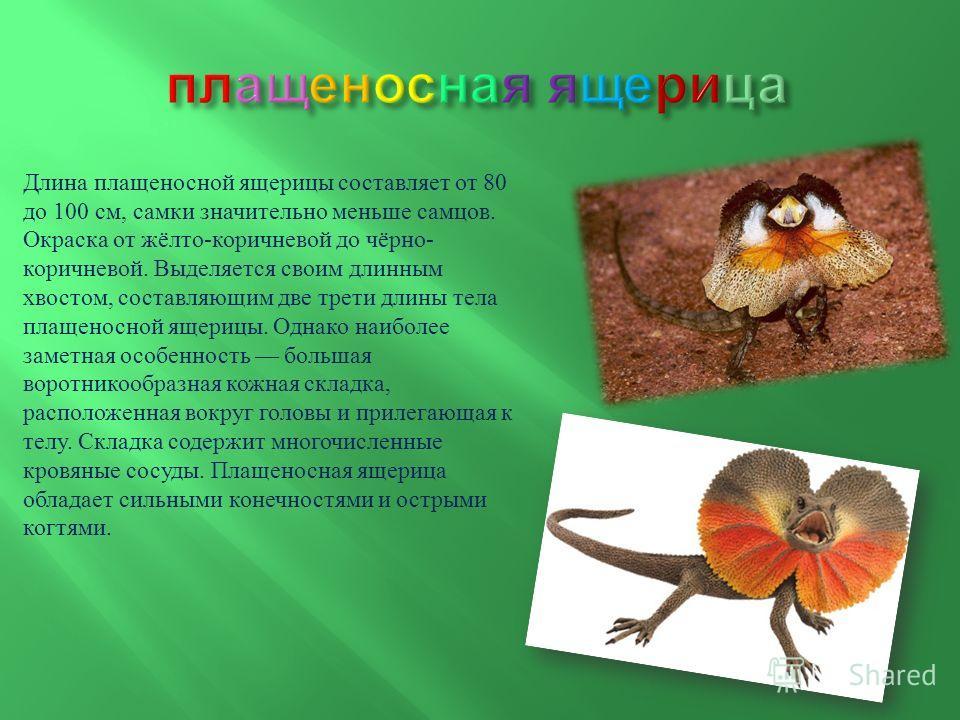 Длина плащеносной ящерицы составляет от 80 до 100 см, самки значительно меньше самцов. Окраска от жёлто - коричневой до чёрно - коричневой. Выделяется своим длинным хвостом, составляющим две трети длины тела плащеносной ящерицы. Однако наиболее замет