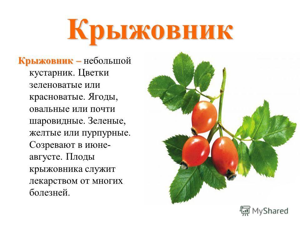 Крыжовник Крыжовник – Крыжовник – небольшой кустарник. Цветки зеленоватые или красноватые. Ягоды, овальные или почти шаровидные. Зеленые, желтые или пурпурные. Созревают в июне- августе. Плоды крыжовника служит лекарством от многих болезней.