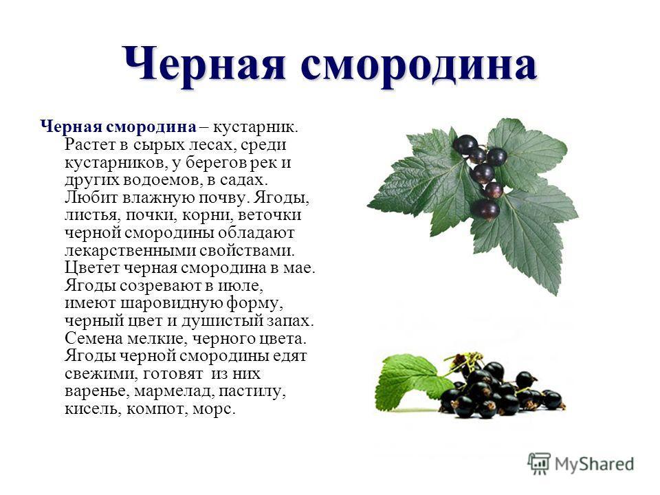 Черная смородина Черная смородина – кустарник. Растет в сырых лесах, среди кустарников, у берегов рек и других водоемов, в садах. Любит влажную почву. Ягоды, листья, почки, корни, веточки черной смородины обладают лекарственными свойствами. Цветет че