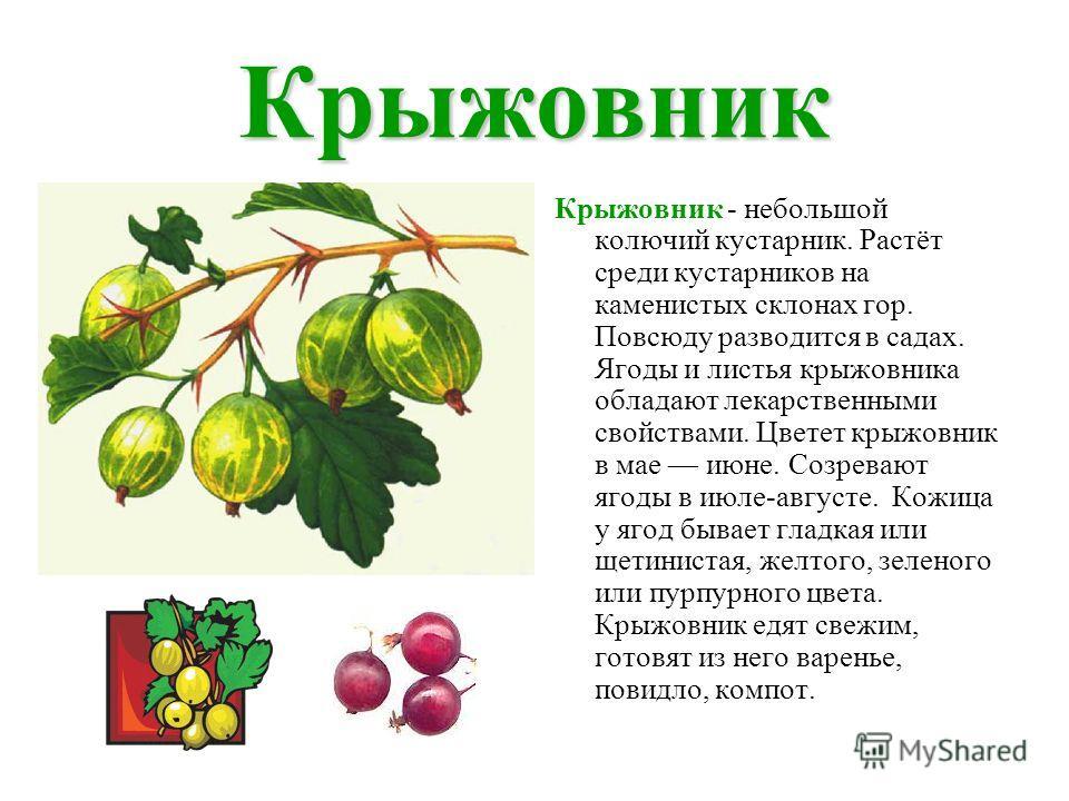 Крыжовник Крыжовник - небольшой колючий кустарник. Растёт среди кустарников на каменистых склонах гор. Повсюду разводится в садах. Ягоды и листья крыжовника обладают лекарственными свойствами. Цветет крыжовник в мае июне. Созревают ягоды в июле-авгус