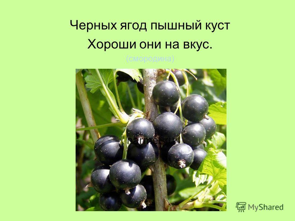 Черных ягод пышный куст Хороши они на вкус. (смородина)