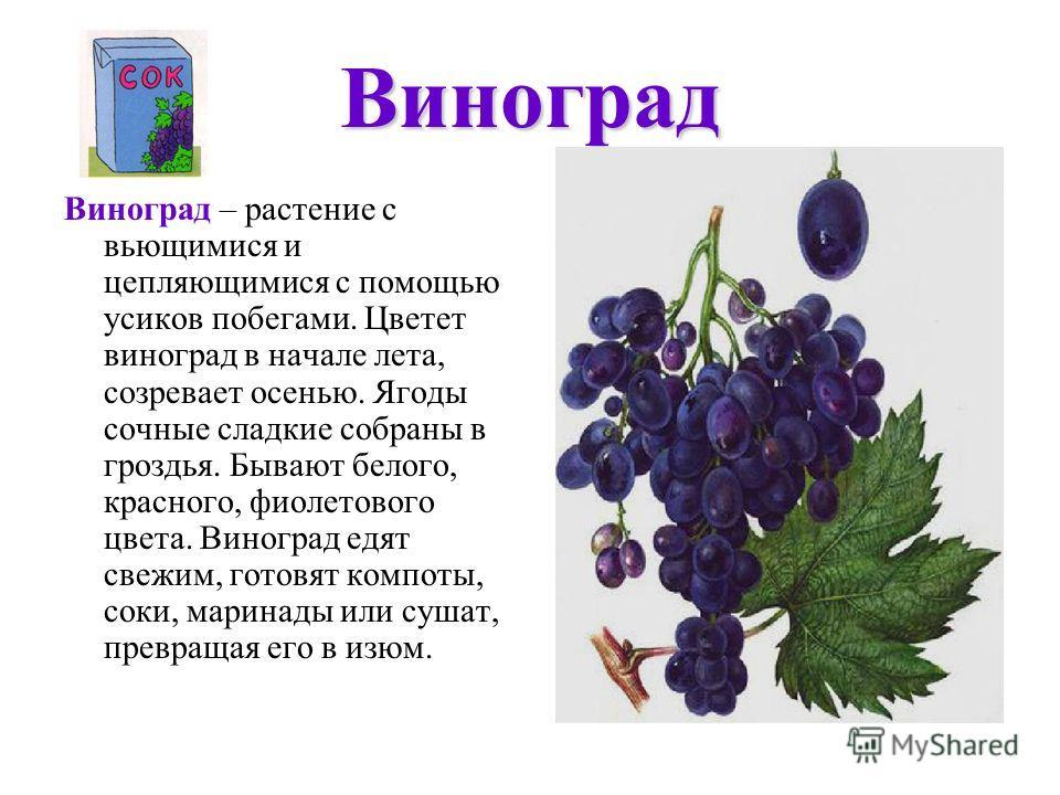 Виноград Виноград – растение с вьющимися и цепляющимися с помощью усиков побегами. Цветет виноград в начале лета, созревает осенью. Ягоды сочные сладкие собраны в гроздья. Бывают белого, красного, фиолетового цвета. Виноград едят свежим, готовят комп