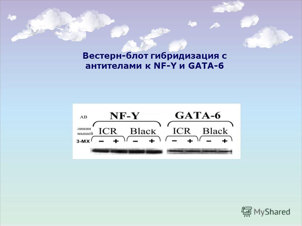 Вестерн-блот гибридизация с антителами к NF-Y и GATA-6