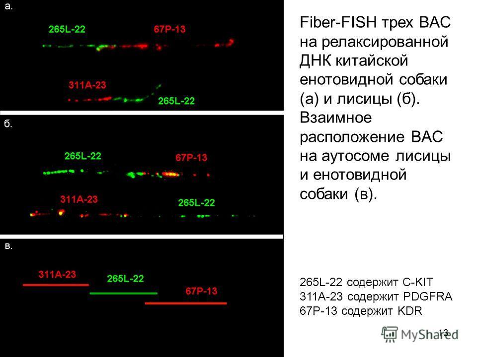 13 Fiber-FISH трех BAC на релаксированной ДНК китайской енотовидной собаки (а) и лисицы (б). Взаимное расположение BAC на аутосоме лисицы и енотовидной собаки (в). 265L-22 содержит С-KIT 311A-23 содержит PDGFRA 67P-13 содержит KDR
