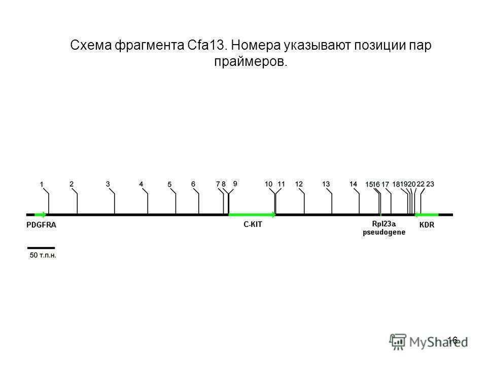16 Схема фрагмента Cfa13. Номера указывают позиции пар праймеров.