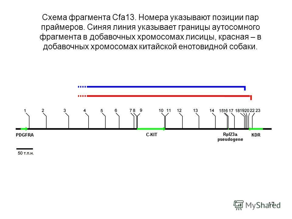 17 Схема фрагмента Cfa13. Номера указывают позиции пар праймеров. Синяя линия указывает границы аутосомного фрагмента в добавочных хромосомах лисицы, красная – в добавочных хромосомах китайской енотовидной собаки.