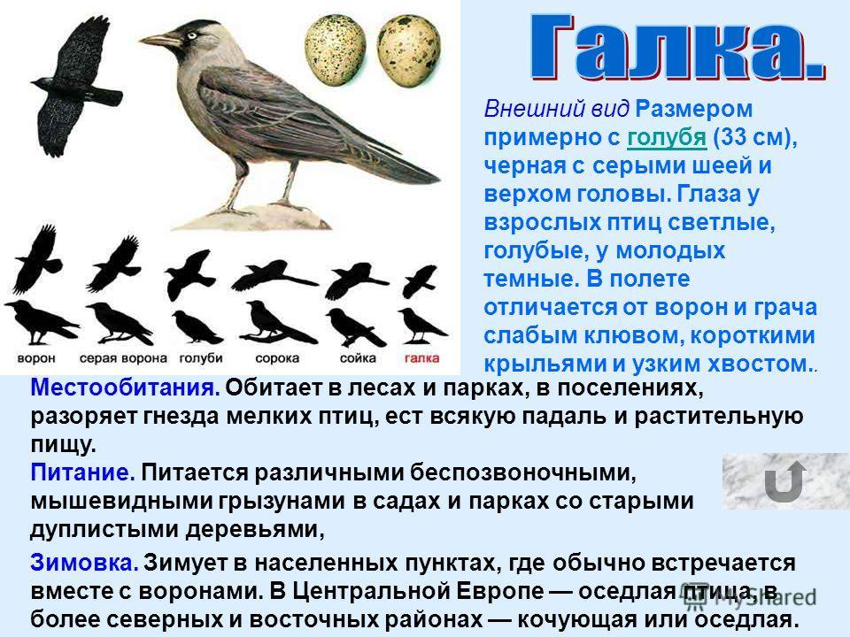 Внешний вид Размером примерно с голубя (33 см), черная с серыми шеей и верхом головы. Глаза у взрослых птиц светлые, голубые, у молодых темные. В полете отличается от ворон и грача слабым клювом, короткими крыльями и узким хвостом..голубя Местообитан