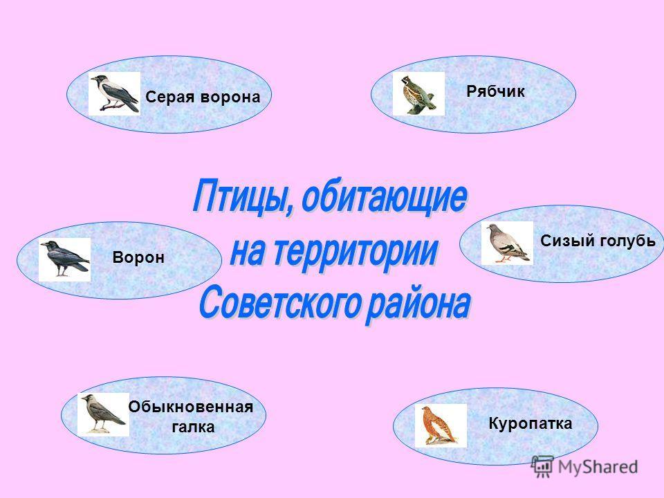 Серая ворона Обыкновенная галка Ворон Рябчик Сизый голубь Куропатка
