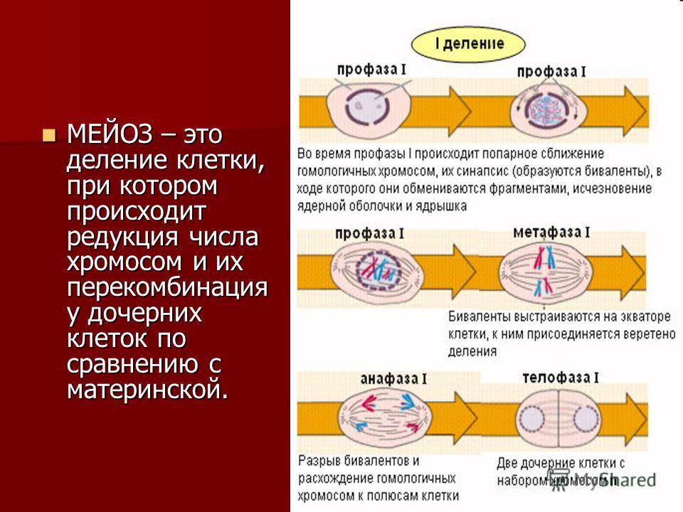 МЕЙОЗ – это деление клетки, при котором происходит редукция числа хромосом и их перекомбинация у дочерних клеток по сравнению с материнской. МЕЙОЗ – это деление клетки, при котором происходит редукция числа хромосом и их перекомбинация у дочерних кле