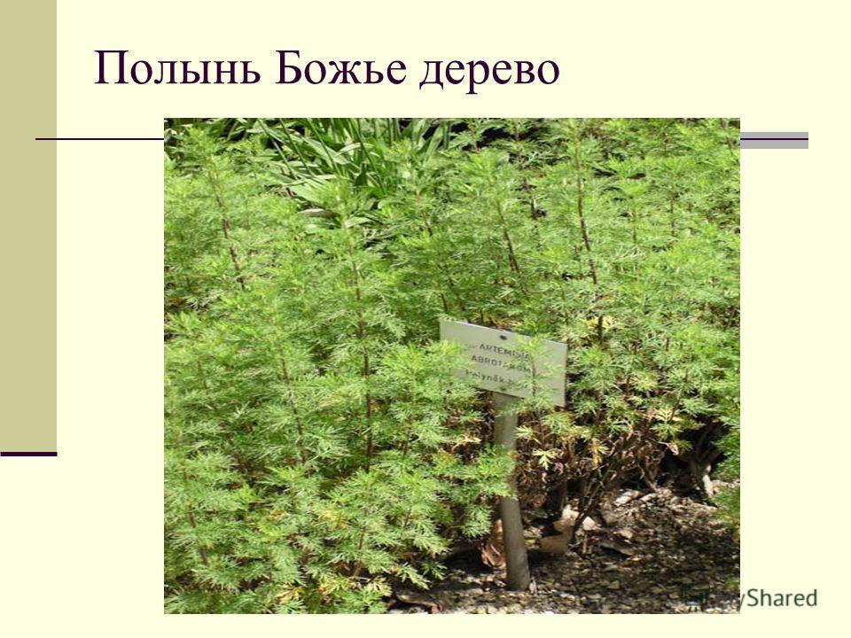 Полынь Божье дерево