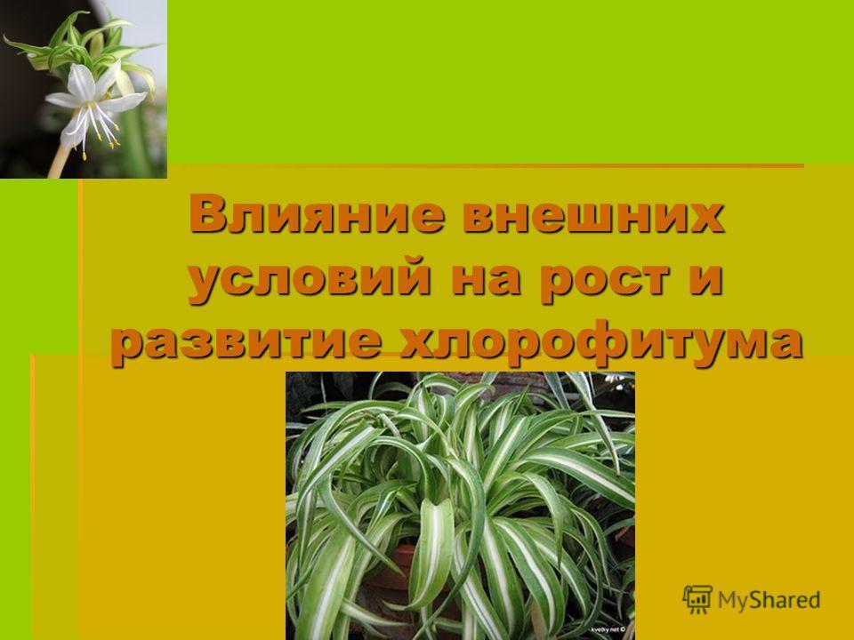 Влияние внешних условий на рост и развитие хлорофитума